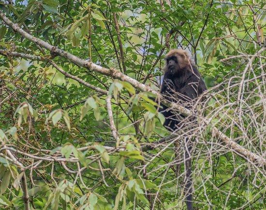 Periyar National Park: Nilgiri Langur