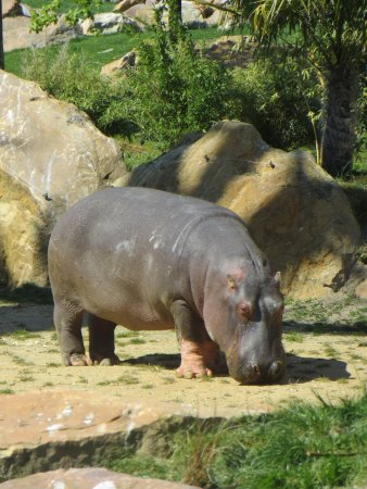 Saint-Aignan, ฝรั่งเศส: Hippopothame