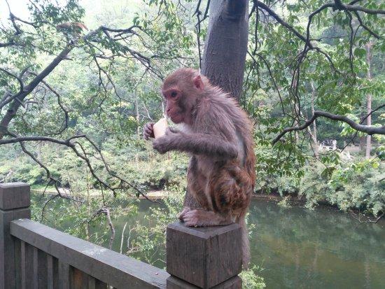 Guiyang, الصين: Cheeky monkey at Guiyang Park - be careful they are hungry!