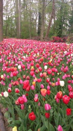 Groot-Bijgaarden, Belgium: explosion de tulipes