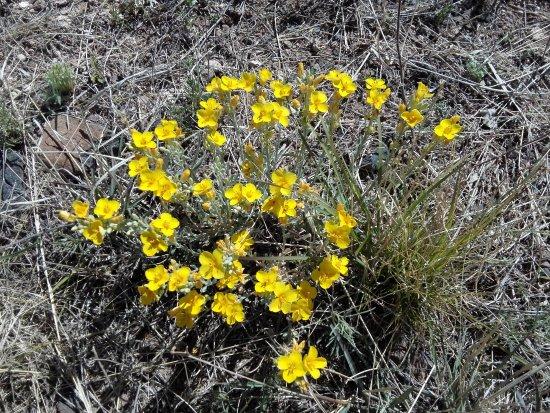 City of Rocks State Park: gelbe Wüstenblumen