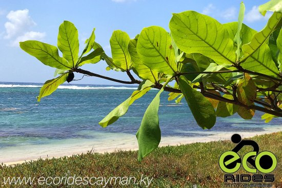 East End, Grand Cayman: Almond tree view on a hot sunny day with ECO Rides Cayman.