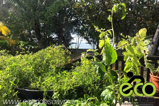East End, Grand Cayman: Lovely rainy morning! The vegetation is happy for the rain. See the beautiful landscape and vege