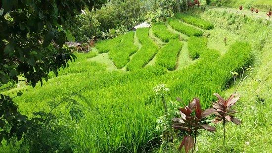 Jatiluwih Green Land: Beautiful Landscape