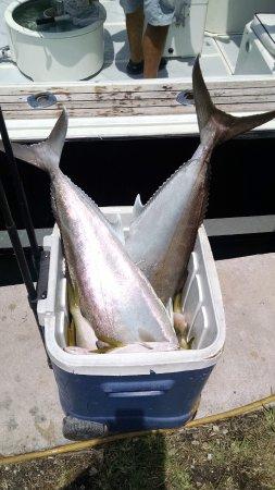 Long Key, FL: Amberjacks (Sea Donkeys)