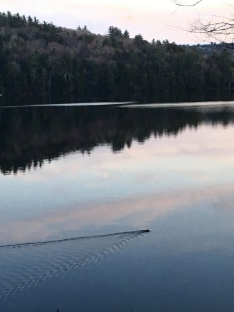 Holderness, NH: Beaver passing by