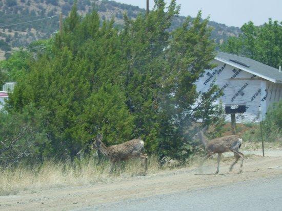 Silver City, Nuevo Mexico: Hirsche verlassen die Sraße