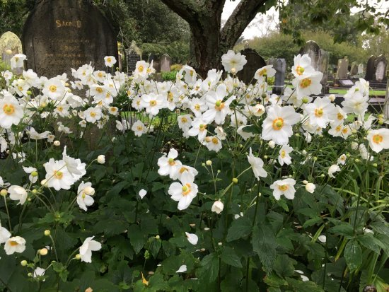 New Plymouth, Selandia Baru: march - japanese anemones