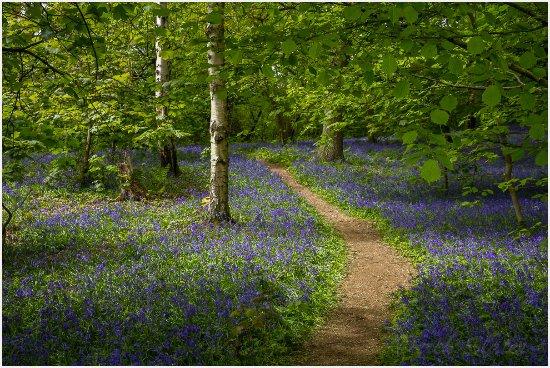 Burton upon Trent, UK: Bluebells seen on the two shorter walks around Lodge Hill Bluebells