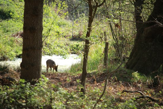 Westleton, UK: Muntjac deer in the woodland at Minsmere