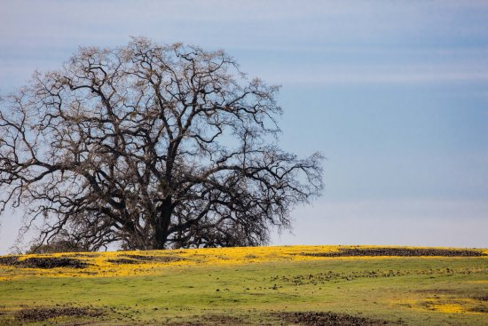 Oroville, CA: Wildflowers like a ground cover