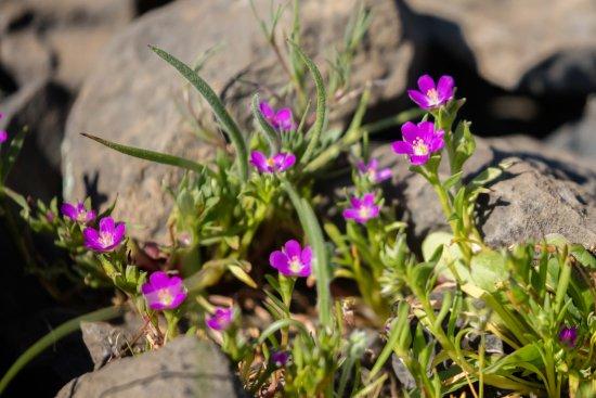 Oroville, CA: growing between rocks
