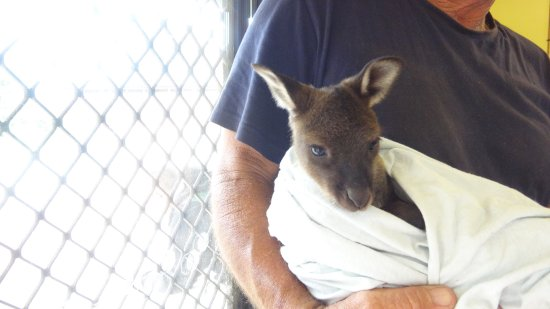 Seddon, Australia: little joey