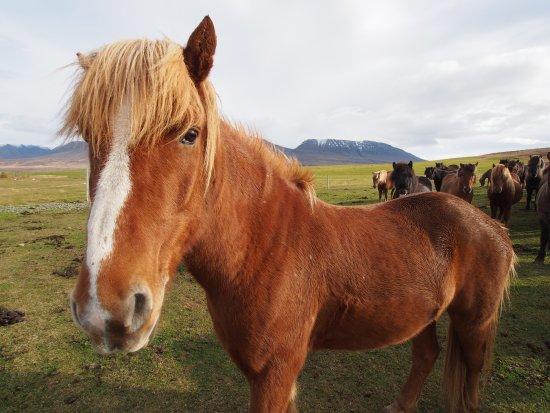 Varmahlid, Iceland: Icelandic horse