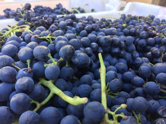 Beechworth, Αυστραλία: Fresh pick shiraz Castagna