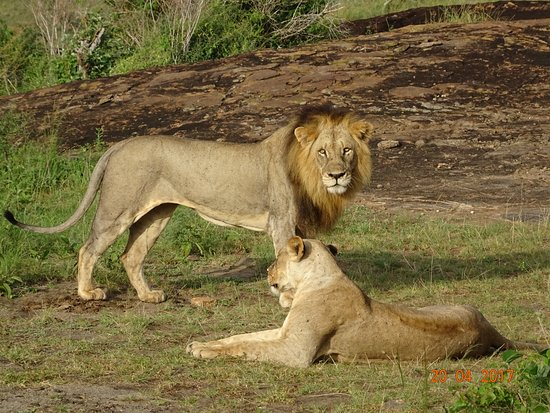 Biaprocade Day Tours & Safaris: Lions within 10 ft of our van