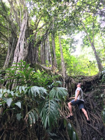 Haiku, Χαβάη: Waterfall hike down the most incredible Banyan Tree roots!