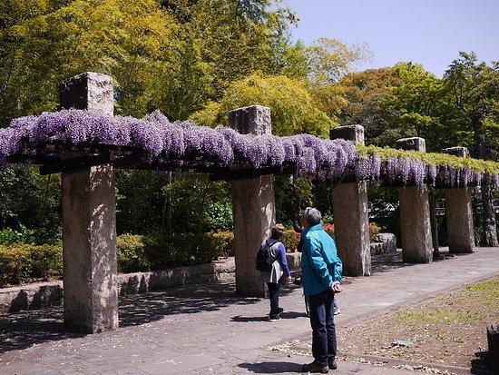 Kazo, ญี่ปุ่น: 「旧河野邸」側の藤も綺麗に満開でした