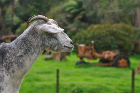 Whitianga, New Zealand: beatiful goat