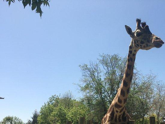 Zoo Aquarium de Madrid : Girafa