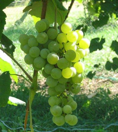 Lebanon, ME: Elvira Grapes
