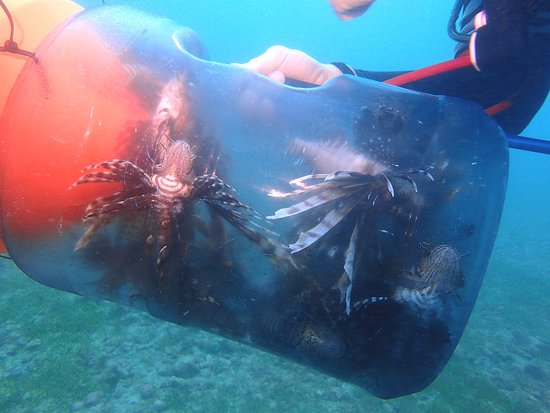 Petit St.Vincent: Lion fish dinner being collected