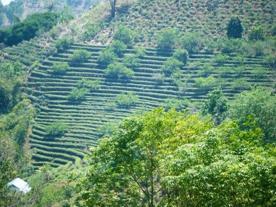 Sweetmaesalong Cafe : Tea plantation
