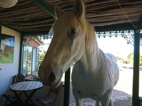 Outeniqua Moon Percheron Stud and Guest Farm: Mr Todd coming for carrots.