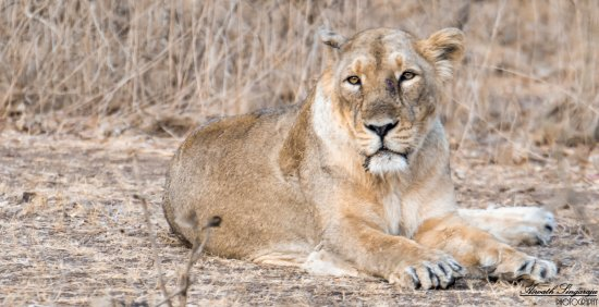 Gir National Park and Wildlife Sanctuary: ASIATIC LION