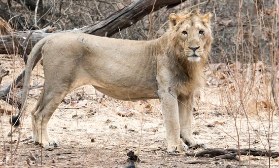 Gir National Park and Wildlife Sanctuary: KING