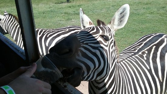 Wytheville, فيرجينيا: Feed and interact with animals from 6 continents at Fort Chiswell Animal Park!
