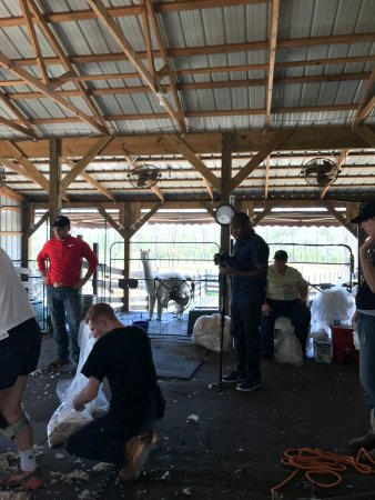 Clarkesville, Τζόρτζια: Alpaca shearing 101, I even got to help!