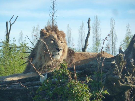 Le PAL: Lion