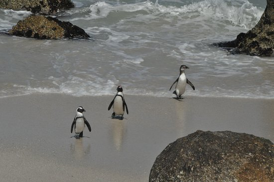 Vredehoek, South Africa: Boulder Beach, Penguins coming ashore