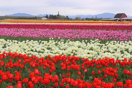Swinomish Casino & Lodge: The Tulip Festival in April is fantastic!