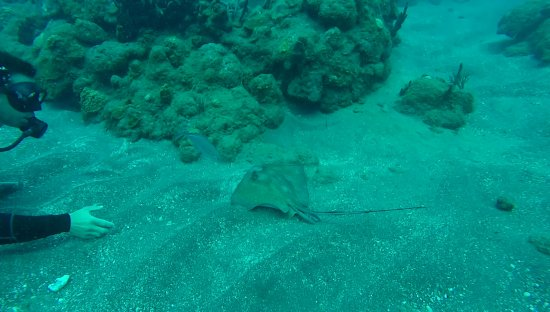 Saba Divers: Little sting ray