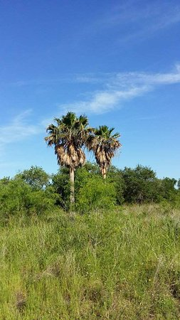 Schertz, TX: Out of place palms