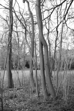 Woodstock, UK: Trees in black and white