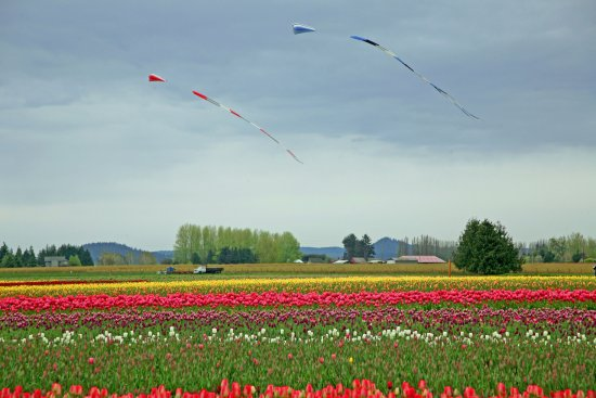Mount Vernon, WA: Kites were being flown over the fields