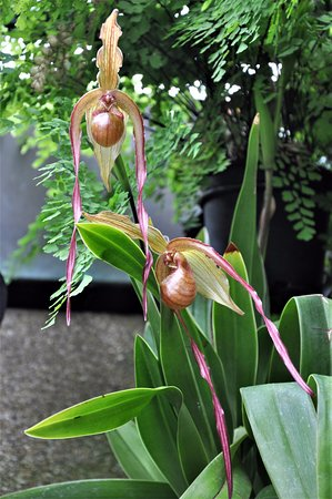 Kennett Square, PA: Orchids in the conservatory at Longwood Gardens