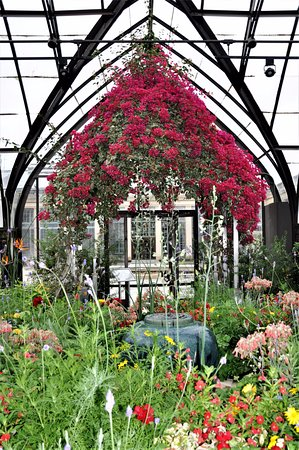 Kennett Square, PA: Bougainvillea in the conservatory at Longwood Gardens