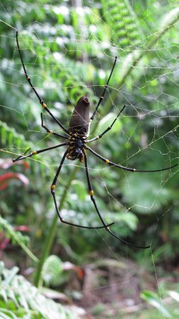 The Epiphyte Bed and Breakfast: Female Golden Orb Spider - Epiphyte B&B