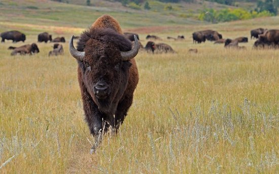 Sheridan, WY: Wildlife at Custer and Yellowstone Parks.