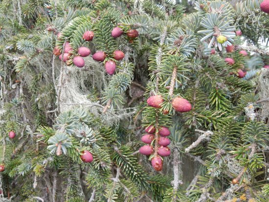 Sooke, Kanada: I had never seen such gorgeous coloured buds, before they become cones.