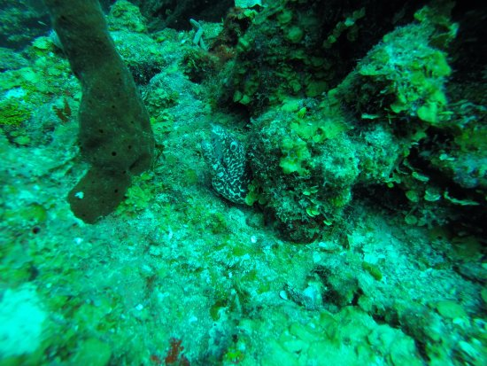 Off The Wall Dive Center & Resort: Spotted eel baring some teeth