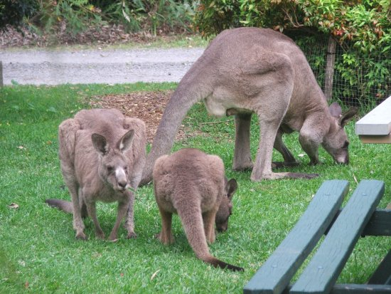 Huskisson, Australia: Kangaroos doing maintanence