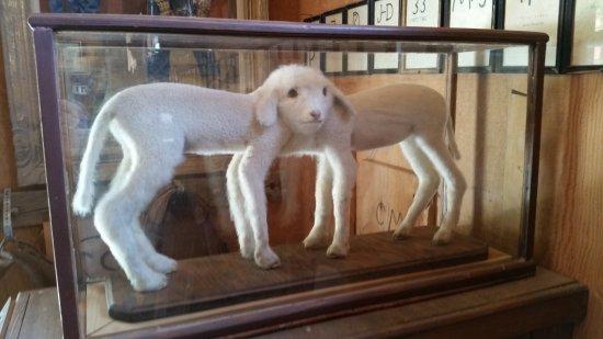Laws Railroad Museum: Siamese twin lambs on display.