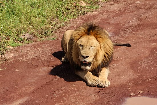 Región de Arusha, Tanzania: This lion was two metres from our car!