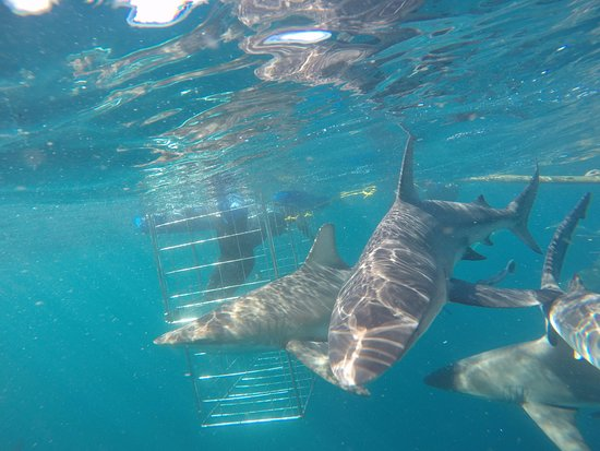 Blue Wilderness Shark Adventures: Shark cage diving on Durban's Aliwal Shoal