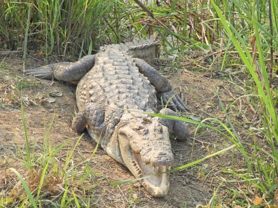Kathmandu Valley, เนปาล: Mugger Croc at Chitwan NP